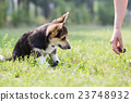 hand welsh corgi 23748932