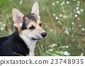 Welsh Corgi Pembroke. Dog in the tall grass. 23748935