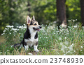 flowers welsh corgi 23748939