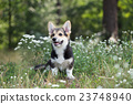 flowers welsh corgi 23748940