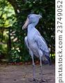 鲸头鹳 禽 鸟 23749052