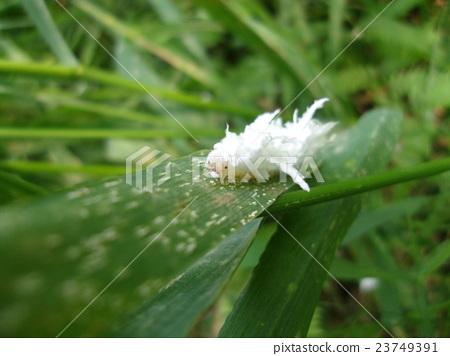 白色幼蟲幼蟲 23749391