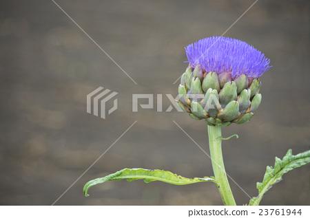 Artichoke flowers 23761944