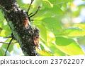 蟬 蝗蟲 複數 23762207