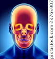 3D illustration of skull part of human skeleton. 23765907