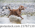 Puppy young dog English cocker spaniel  23767130
