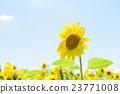 向日葵 太陽花 花朵 23771008