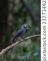 beautiful ashy drongo (Dicrurus leucophaeus) 23773462