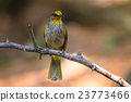 Stripe-throated Bulbul Bird standing on a branch 23773466