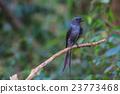 beautiful ashy drongo (Dicrurus leucophaeus) 23773468
