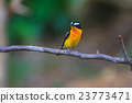 Male Yellow-rumped flycatcher in nature 23773471