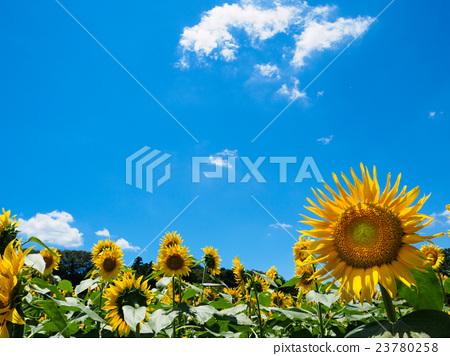 夏天天空後面的向日葵領域 23780258
