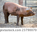 Red Wattle hog - Sus scrofa domesticus 23790070