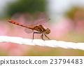 蜻蜓 紅蜻蜓 各种红蜻蜓 23794483
