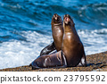 sea lion on the beach in Patagonia while roaring 23795592