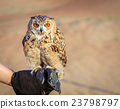 Desert Eagle Owl 23798797