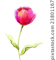 Watercolor painting red tulip flower  23801167