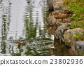 鴨 鴨子 小雞 23802936
