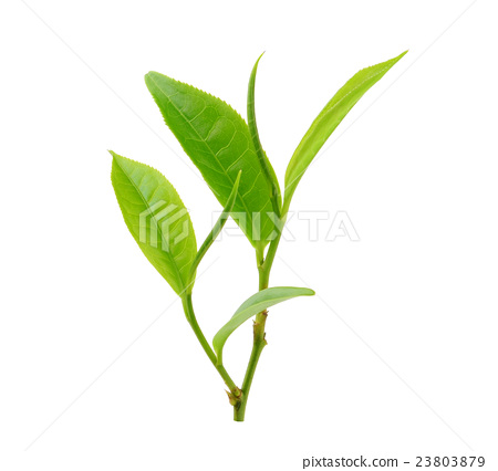tea leaf isolated on white background 23803879