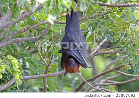 Lyle's flying fox Pteropus lylei Bat Sleeping 23807092
