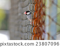 Java sparrow Java finch Birds of Thailand 23807096