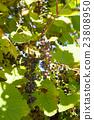 深紅色的榮耀藤 成熟 水果 23808950