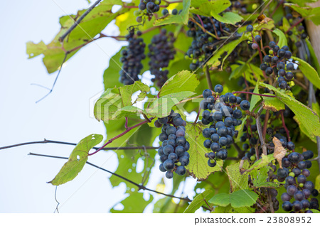 深紅色的榮耀藤 葡萄 水果 23808952