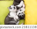 Cute Two siberian husky puppies sleeping in the be 23811138
