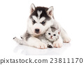 Cute siberian husky puppy cuddling cute kitten 23811170