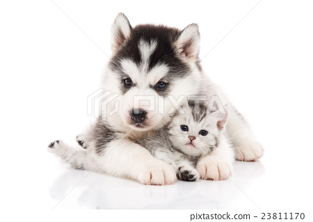 Cute siberian husky puppy cuddling cute kitten 23811170