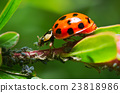 Ladybug eating aphids on a garden, plant 23818986
