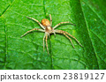 Spider hunting on a leaf 23819127