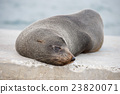Australia Fur seal close up portrait  23820071