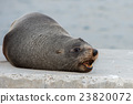 Australia Fur seal close up portrait 23820072