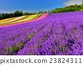 라벤더, 라벤더 밭, 꽃밭 23824311