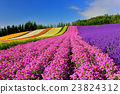 lavander, lavender, bloom 23824312
