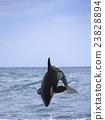killer whale 23828894