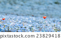 Carpet of Nemophila, or baby blue eyes flower 23829418