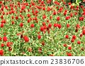 千日紅 紅 紅色 23836706