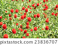 千日紅 紅 紅色 23836707
