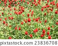 千日紅 紅 紅色 23836708