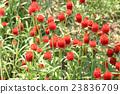 千日紅 紅 紅色 23836709