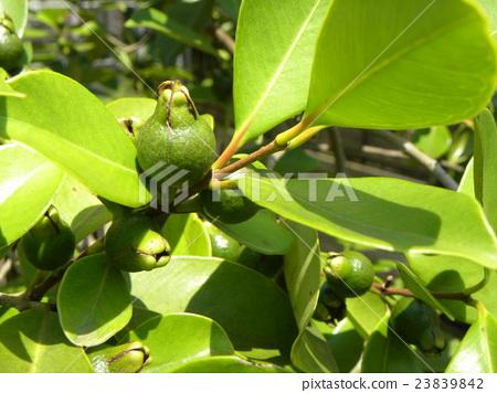 仍然鮮美熱帶水果hime年輕果子 23839842