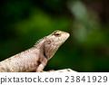 Lizard  23841929