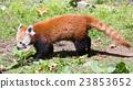 red panda 23853652