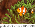 Clow Anemone Fish 23853999