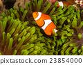 Clow Anemone Fish 23854000