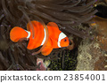 Maroon Clownfish in Anemone 23854001