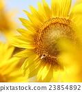 向日葵 蜜蜂 夏天 23854892