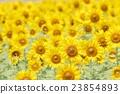 向日葵 向日葵園 花朵 23854893